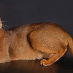 Международная выставка кошек в Херсоне vystavka-koshek-v-xersone
