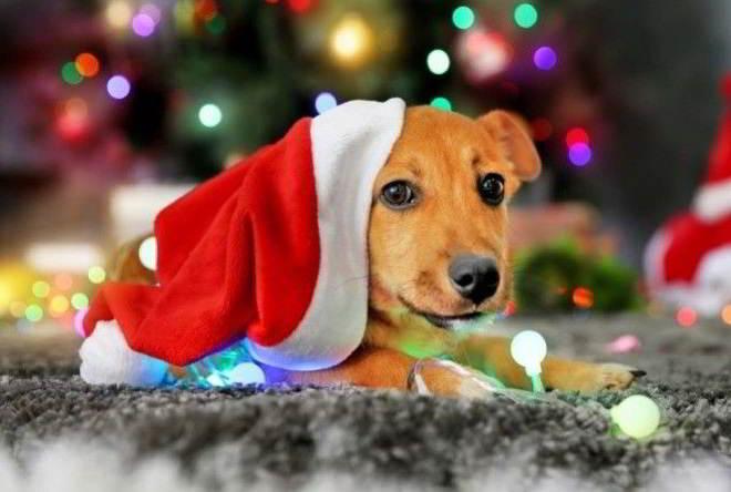 Год Желтой Собаки все что нужно знать о символе 2018 года!