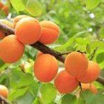 Запад и север Украины рискуют остаться без груш вишен и абрикосов