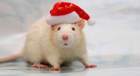 Год Белой Крысы каким знакам зодиака повезет в 2020 году