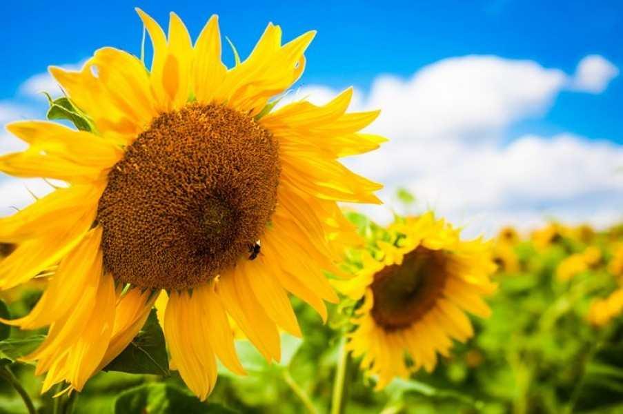 В Україні соняшникова олія подорожчає до 100 грн
